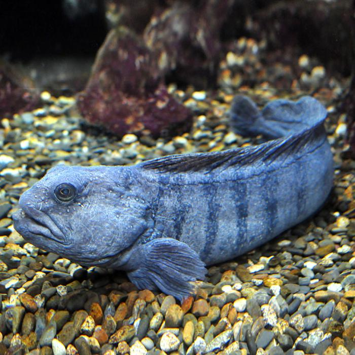 Ugliest fish in the world- Atlantic wolffish