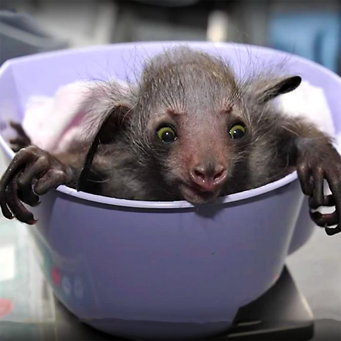 Ugliest primate in the world; Aye-aye