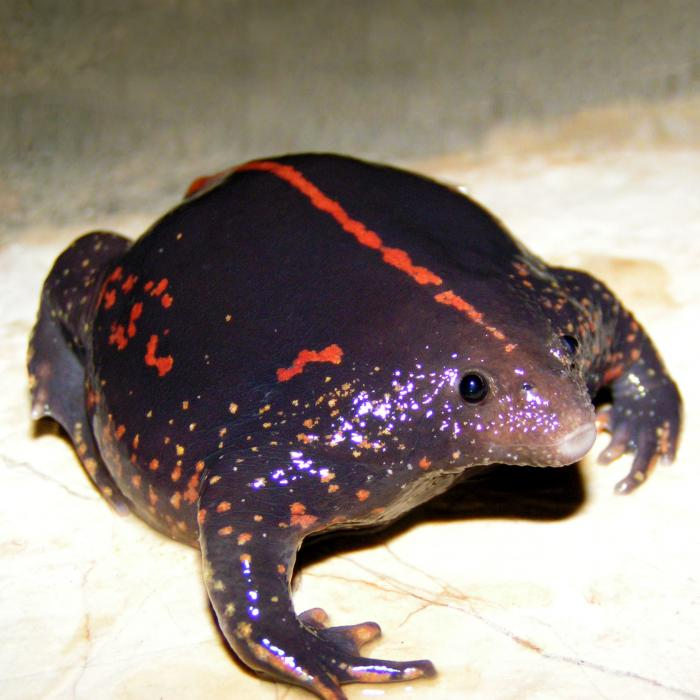 Ugliest frog in the world: Mexican burrowing frog