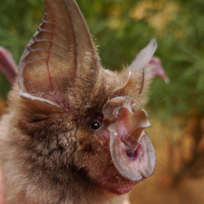Ugliest bat in the world: horseshoe bat