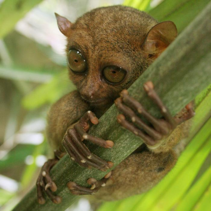 The ugliest monkeys in the world: Tarsier monkey
