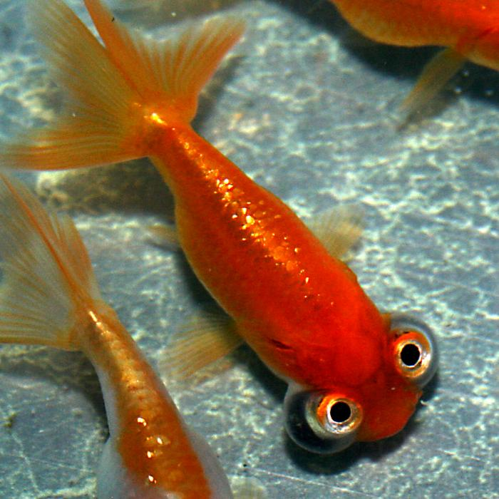 Ugliest fish in the world - Celestial eye goldfish