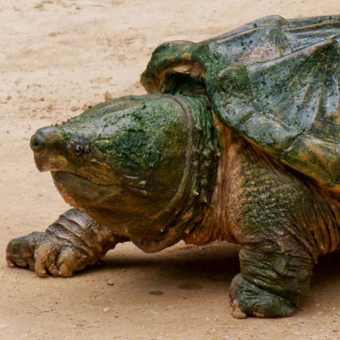Ugliest turtles - Alligator snapping turtle