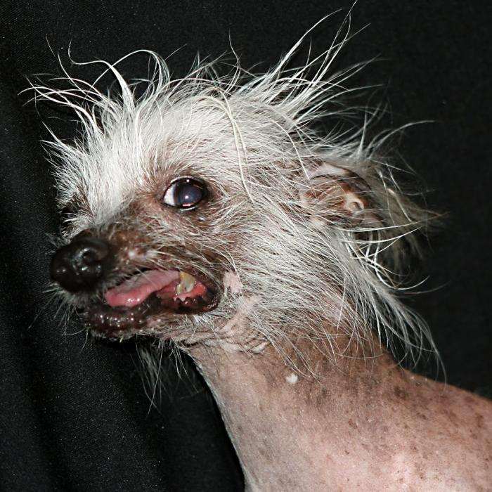Ugliest dog in the world Rascal