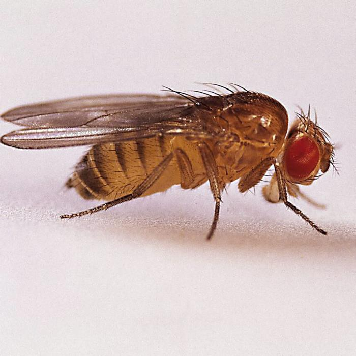 Ugliest fly in the world: fruit fly