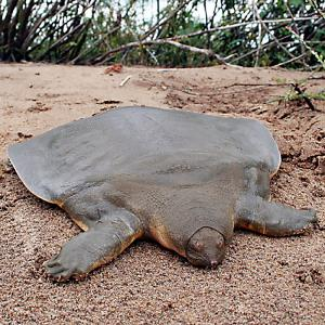 Ugliest turtle - Soft-shell turtle