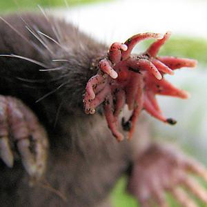 Ugliest mole in the world: the star nosed mole