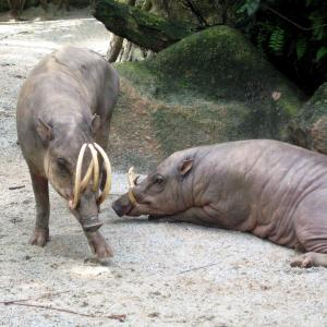 Ugliest animals: babirusa