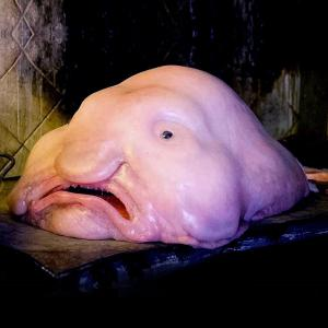 The Blobfish, the ugliest fish in the world