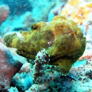 Ugliest fish in the world - frog fish