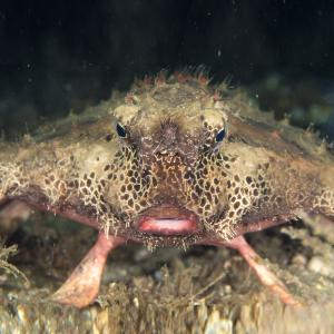 Ugliest fish in the world - polka-dot batfish