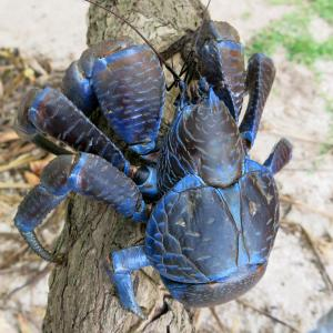 Ugliest crab in the world: Coconut Crab
